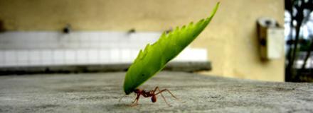 Formiga carregando folha muito maior que ela