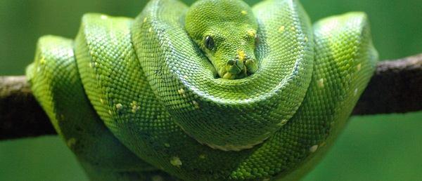 Cobra verde enrolada em um galho